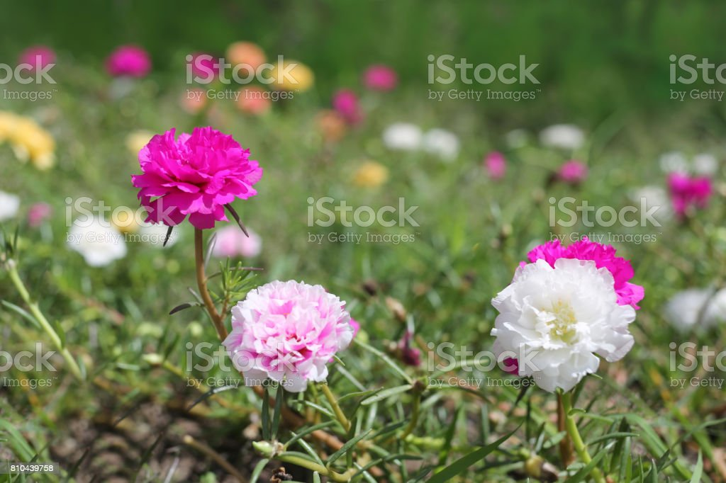 Portulaca oleracea flower or Common Purslane flower in garden,Colorful color blooming during all season. stock photo