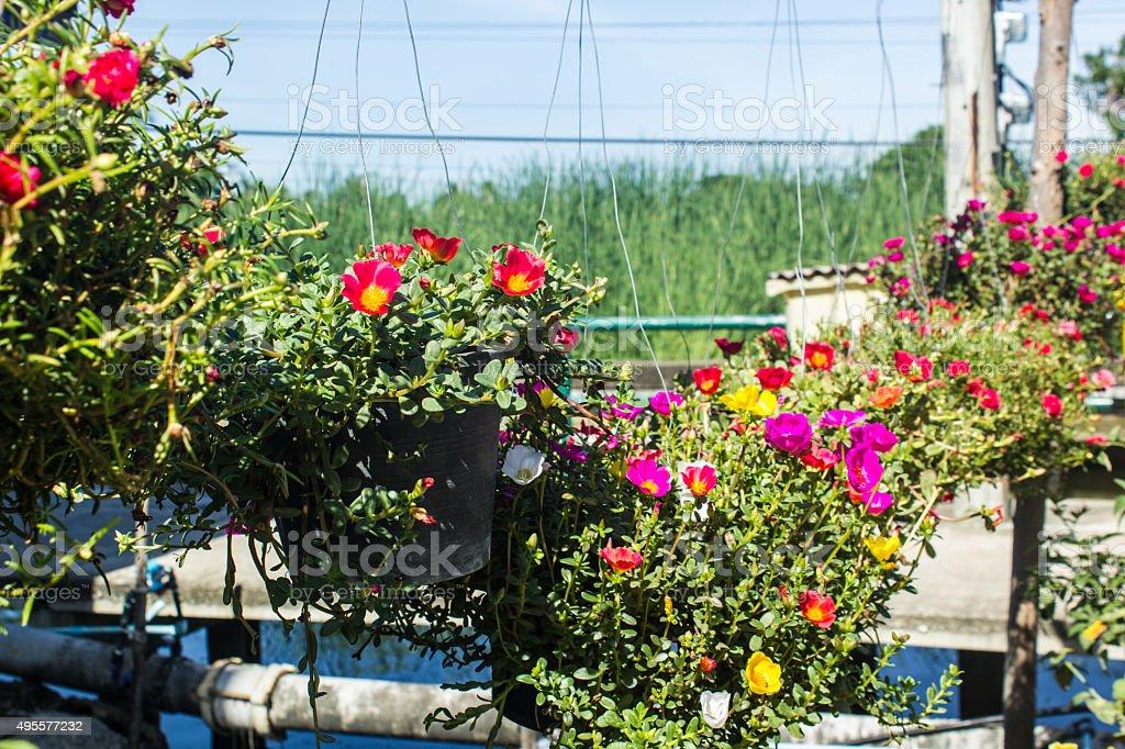 Portulaca oleracea  flowers blooming in the garden stock photo