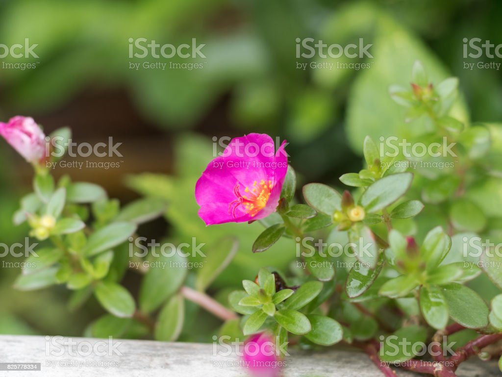 Portulaca oleracea stock photo