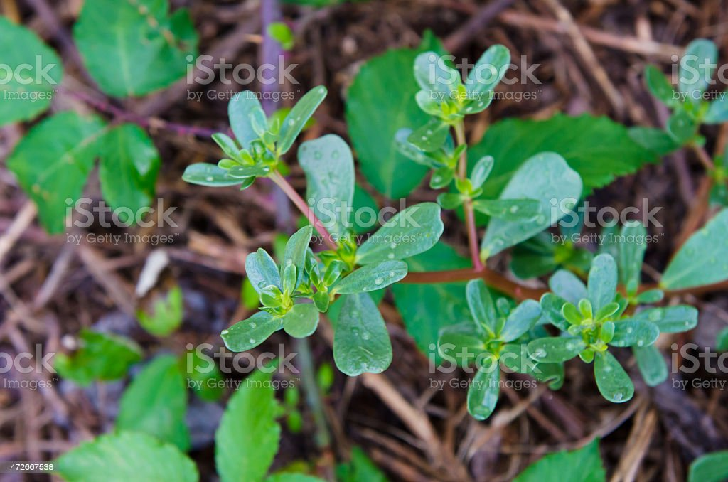 Portulaca Orelacea stock photo