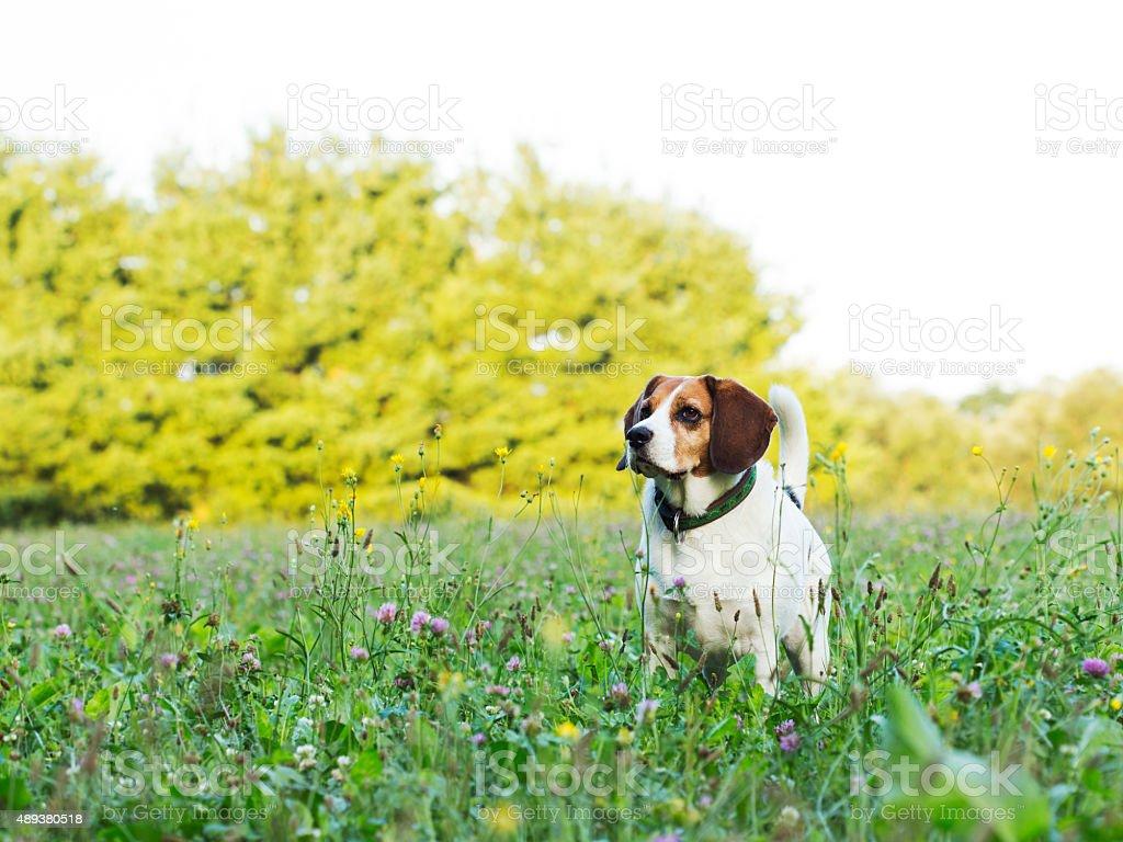 Posing beagle stock photo