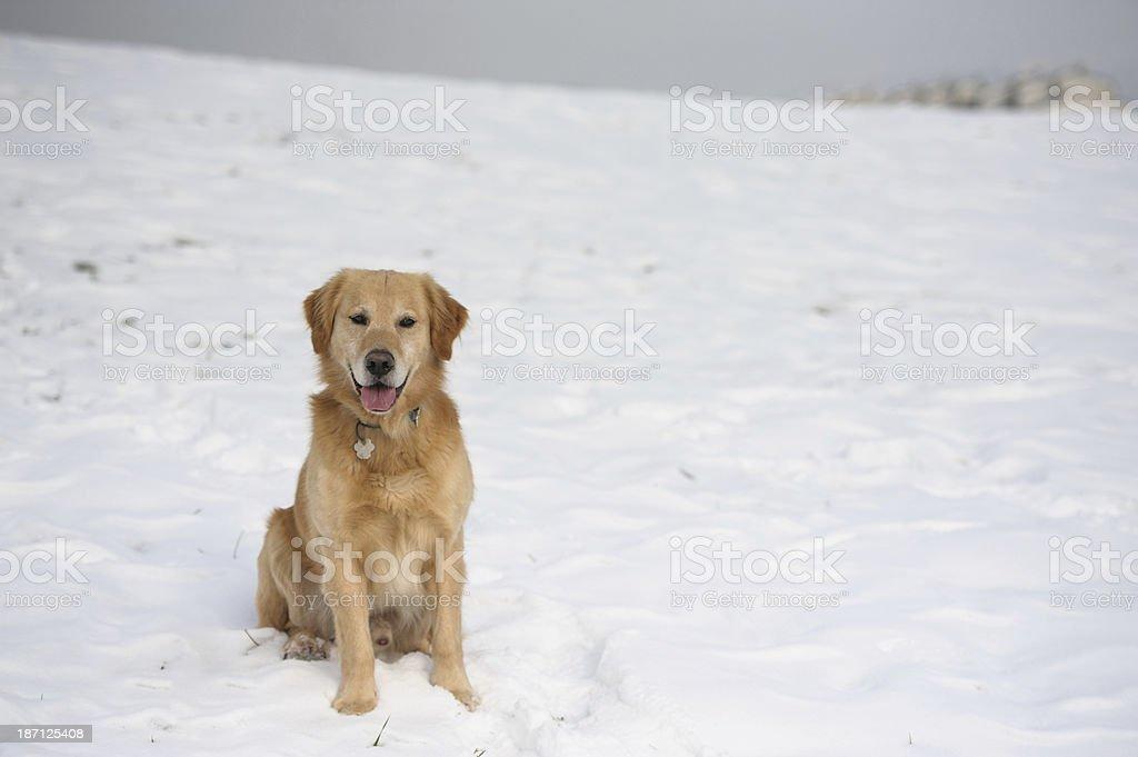 Posing dog royalty-free stock photo