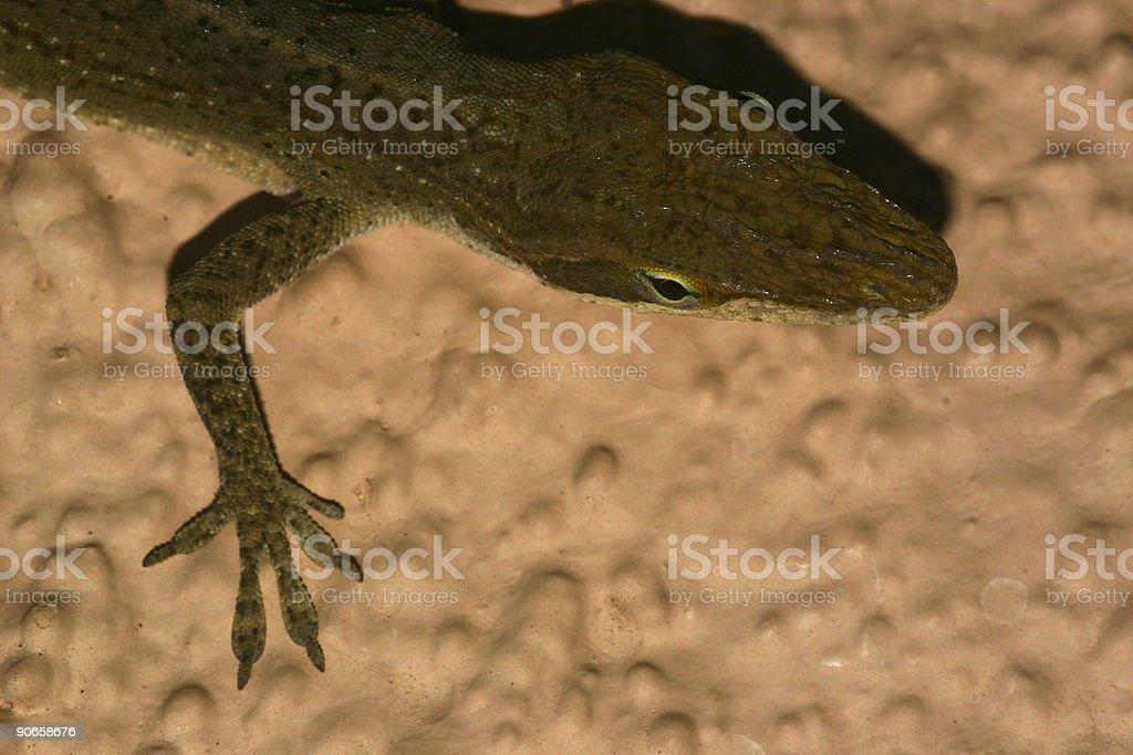 Posing lizard #5 royalty-free stock photo