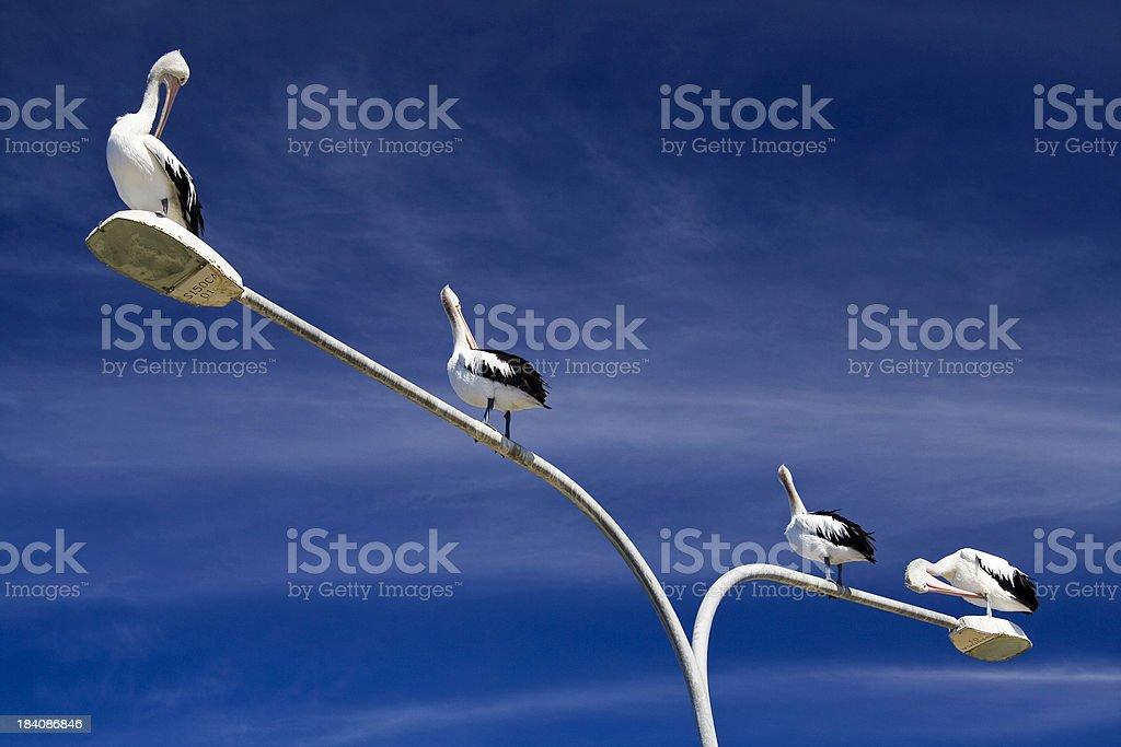 Posing pelicans stock photo