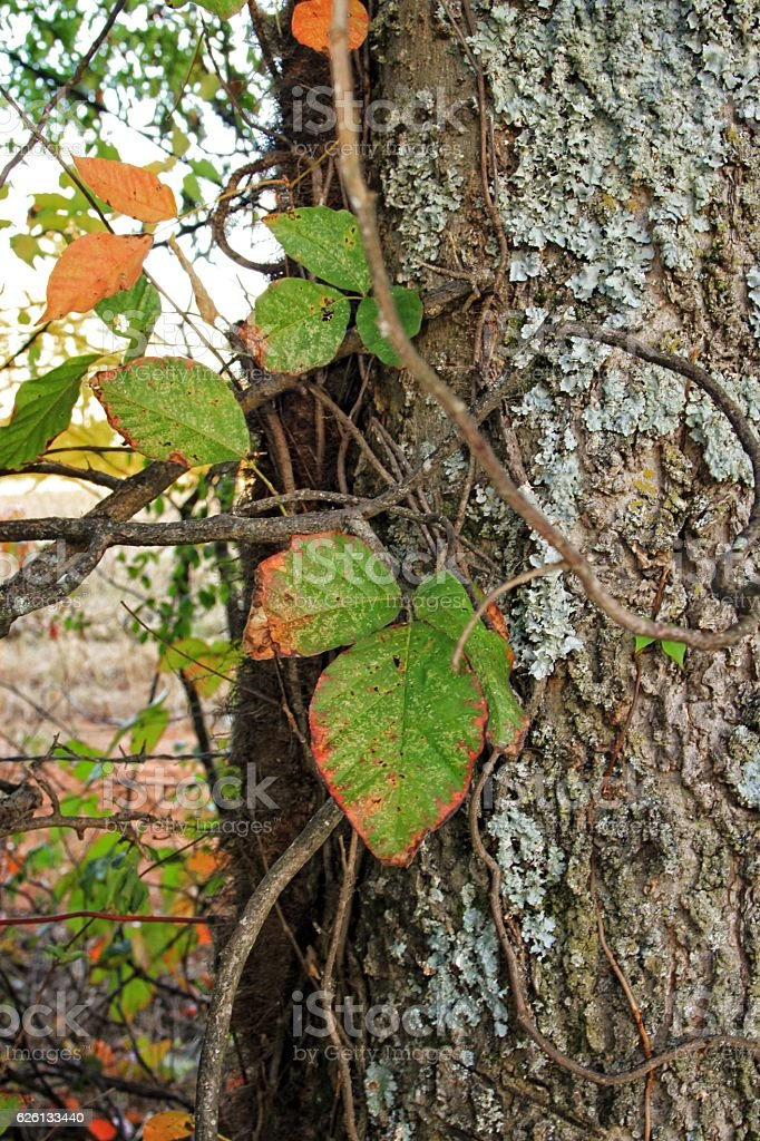 Posion ivy in the fall stock photo