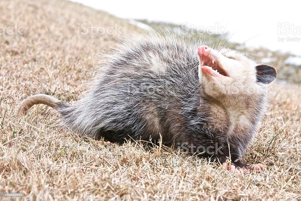 Possum Grin stock photo