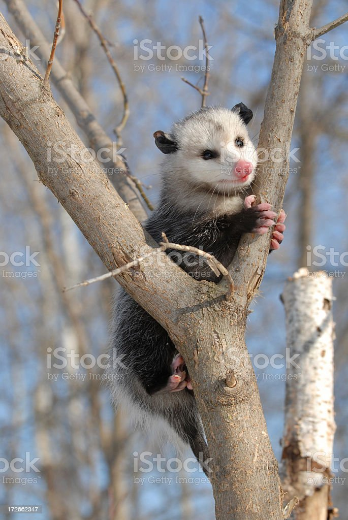 Possum in a tree stock photo