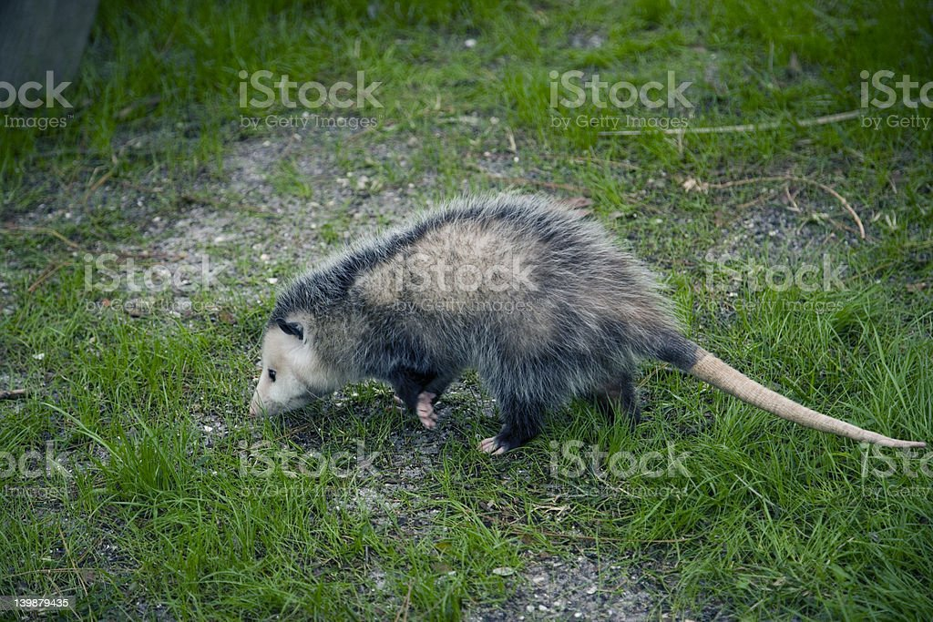 Possum in the grass royalty-free stock photo