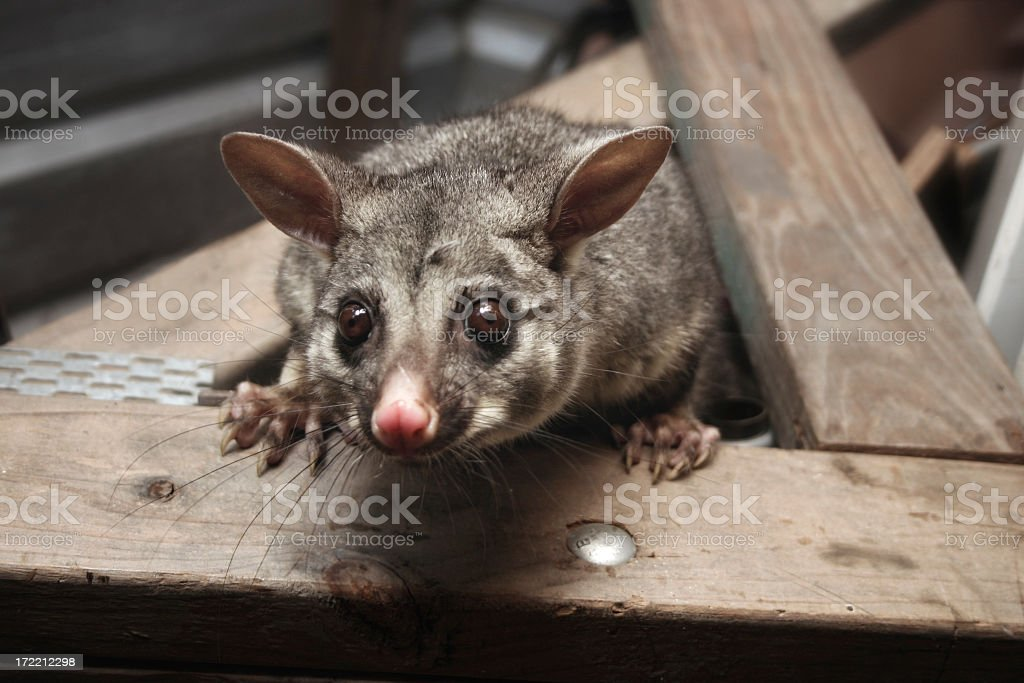 possum in the rafters looking down stock photo