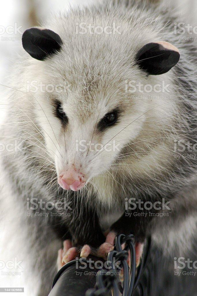 possum on fence royalty-free stock photo