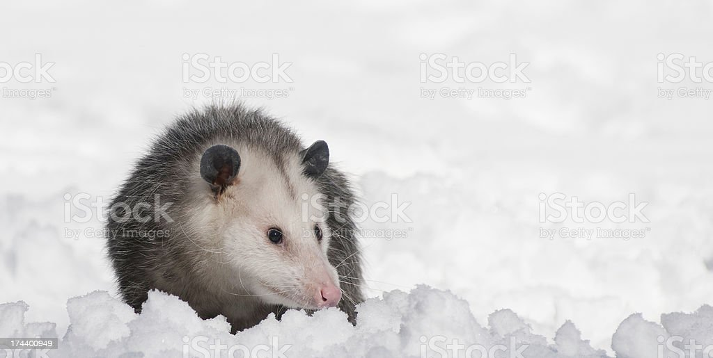 Possum royalty-free stock photo