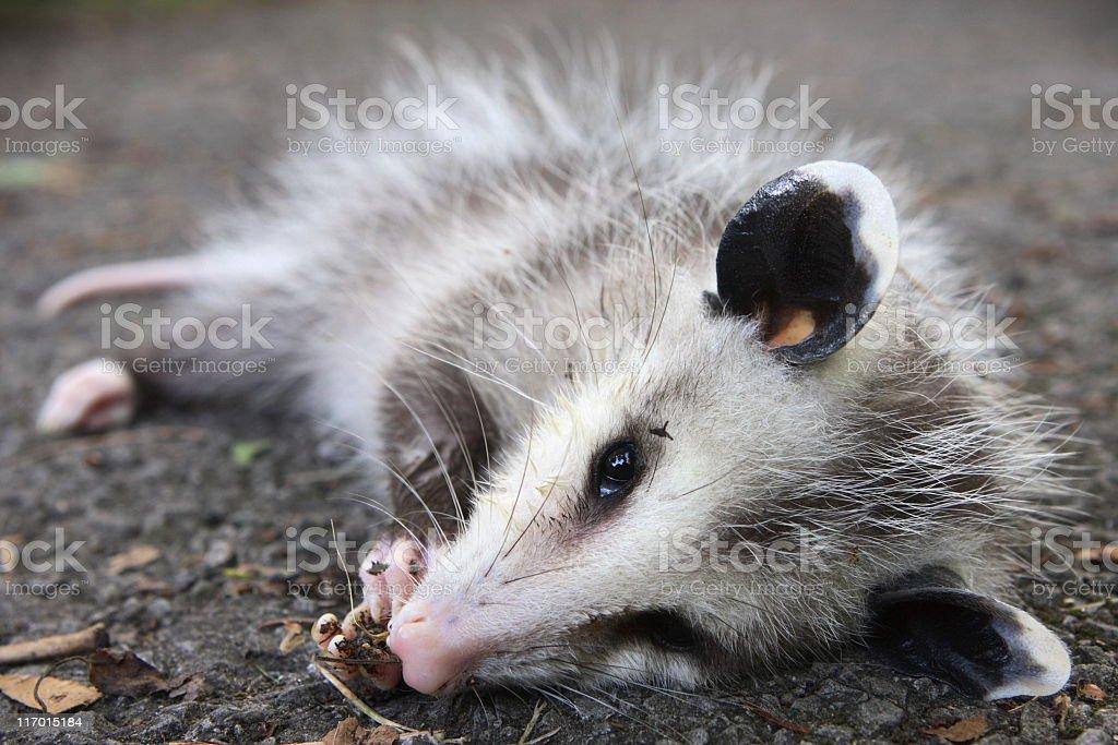 Possum Plays Dead Wild Animal Behavior stock photo