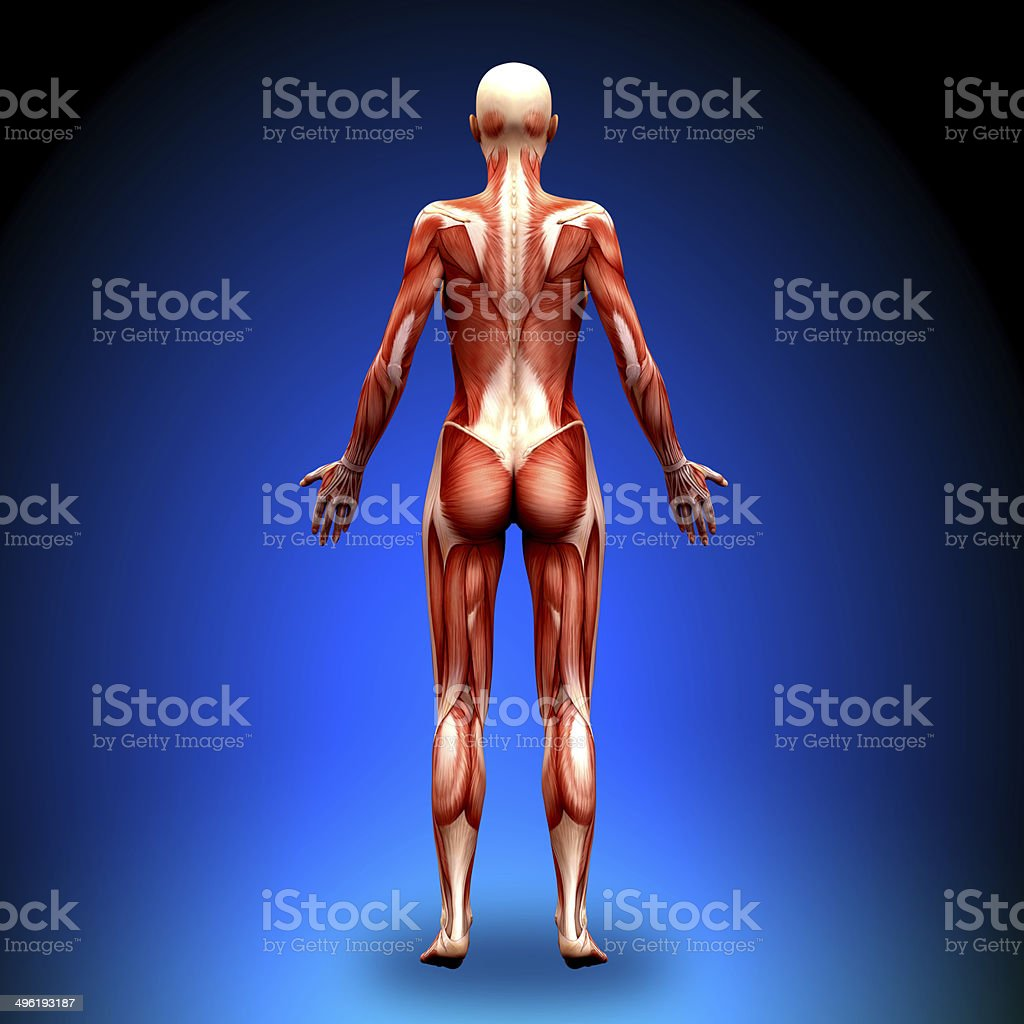 Posterior view - Female Anatomy Muscles royalty-free stock photo