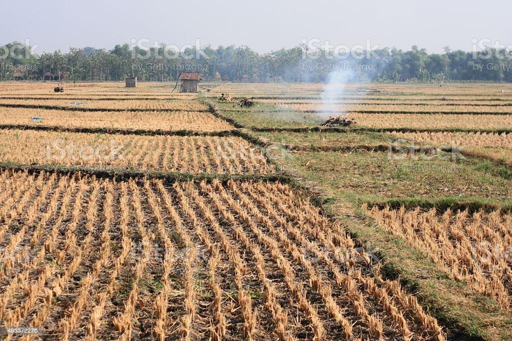 post-harvest rice stock photo
