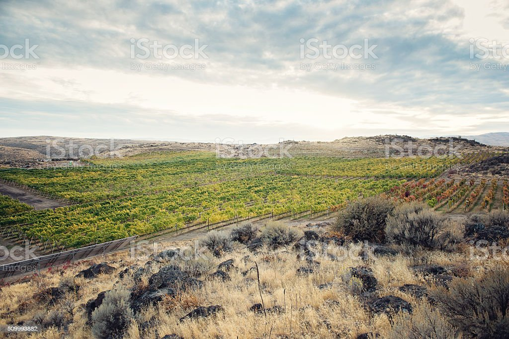 Post-harvest View of Vineyard stock photo