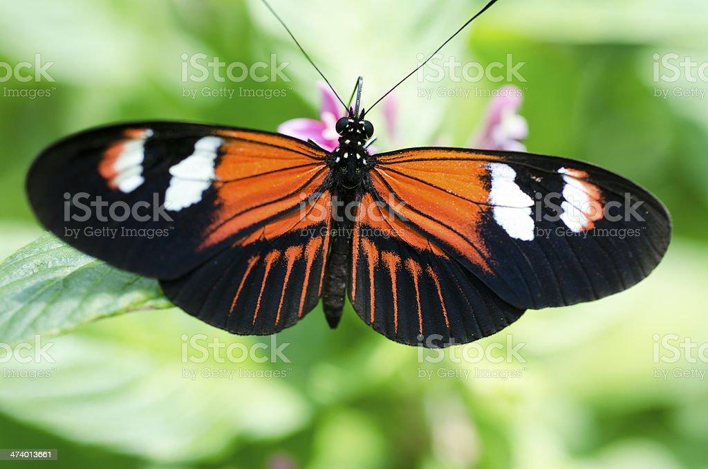 postman butterfly  Heliconius melpomeme stock photo