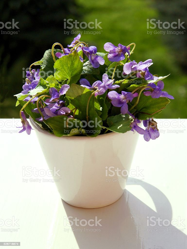 posy of sweet violets in cup close up stock photo