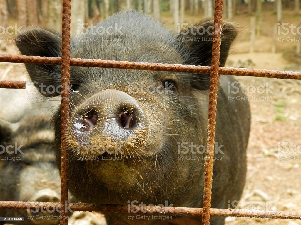 Pot bellied Pig: Muddy Snout and Curious Look stock photo