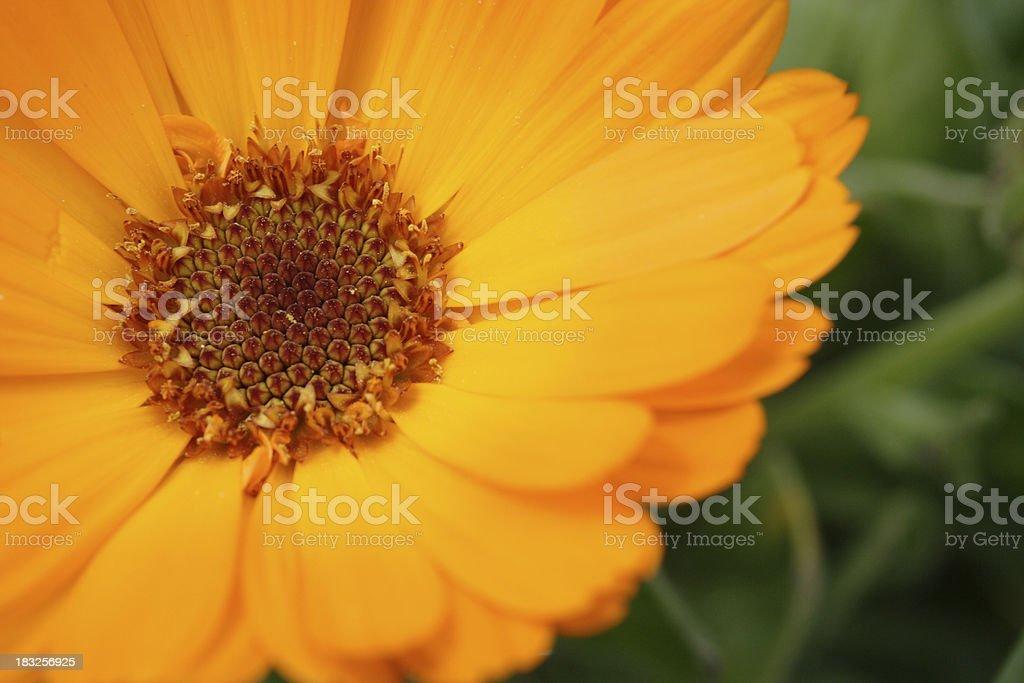Pot Marigold - Calendula officinalis royalty-free stock photo