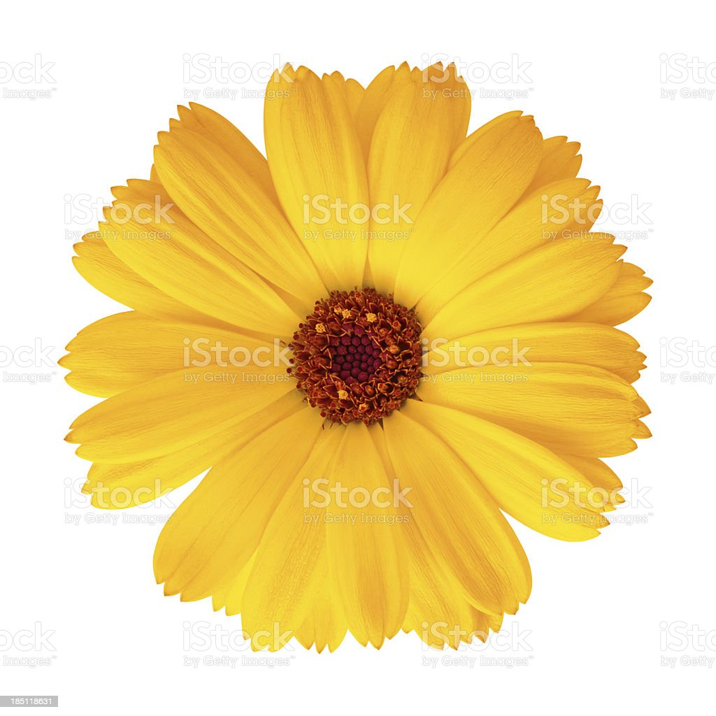 Pot Marigold - Calendula officinalis stock photo