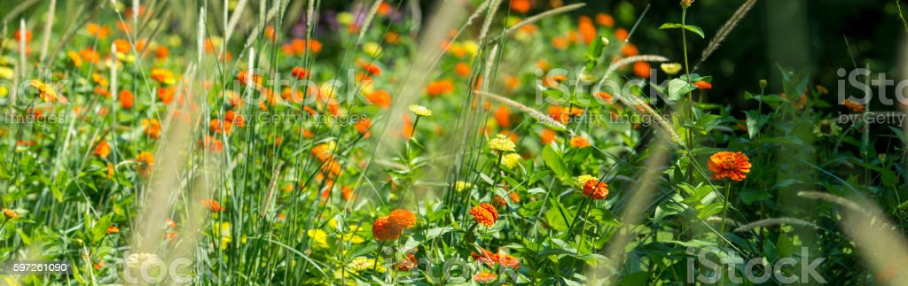 Pot marigold or Calendula officinalis red-orange speckled flower planting. stock photo