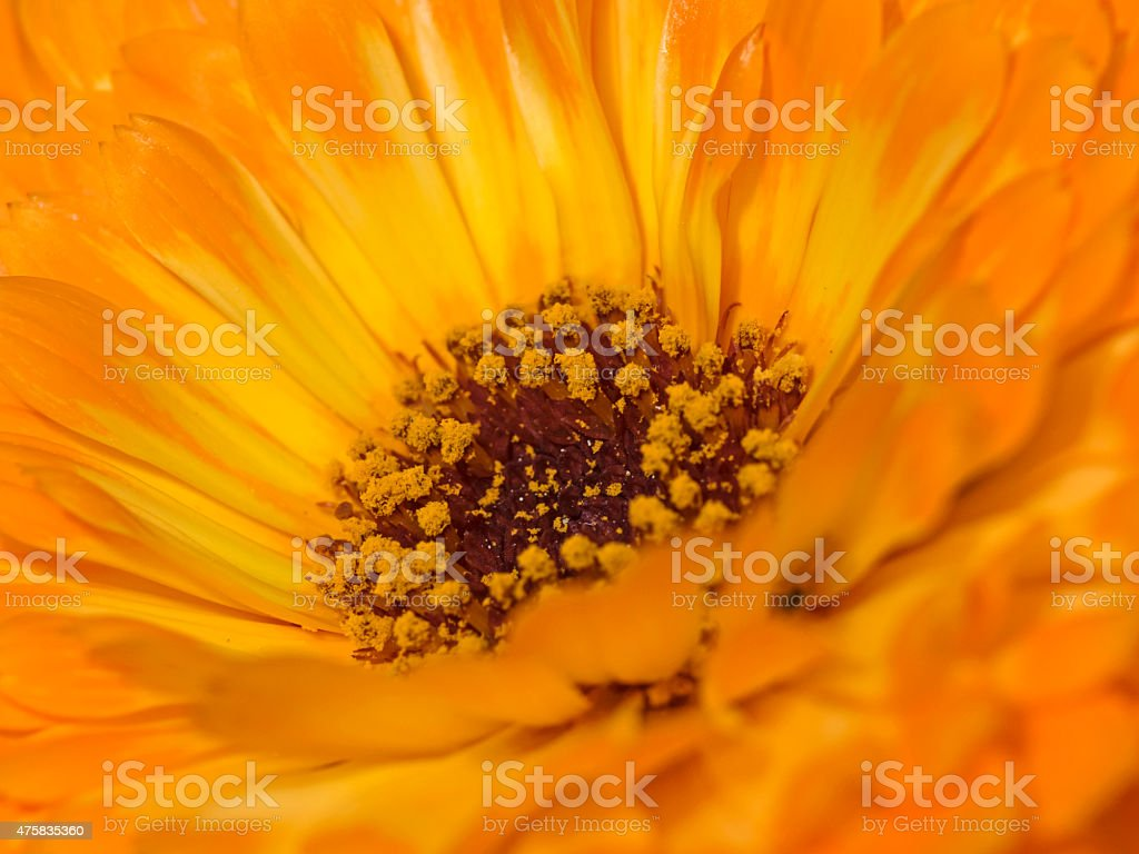 Pot marigold, Orange Ringelblume (Calendula officinalis) stock photo