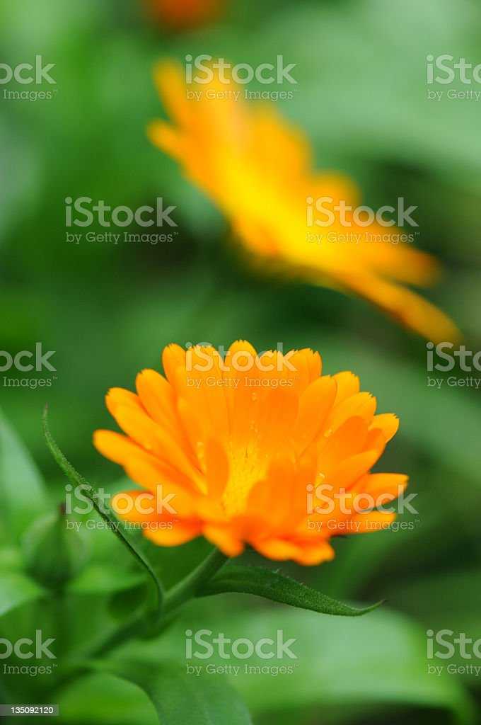 Pot Marigold (Calendula officinalis) royalty-free stock photo