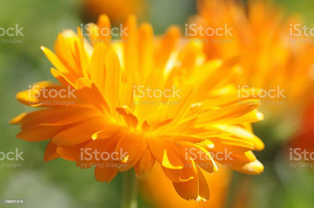 pot marigold stock photo