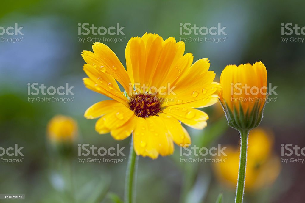 Pot Marigold royalty-free stock photo