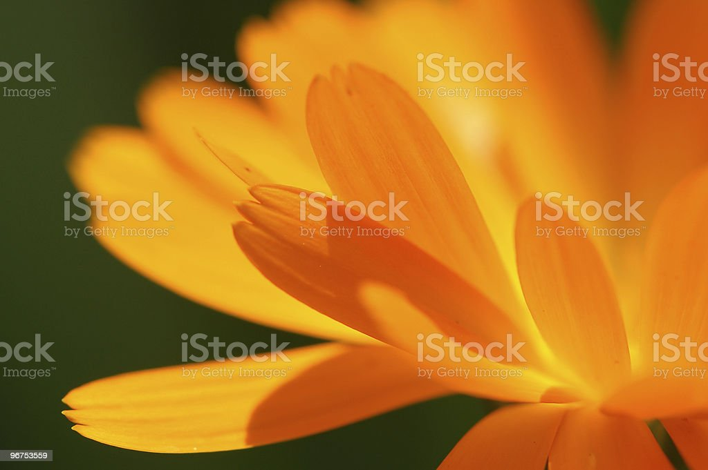 Pot Marigold (Calendula officinalis) royalty-free stock photo