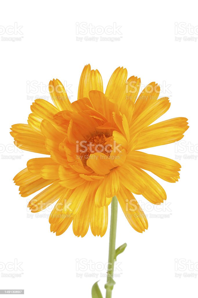 Pot marigolds (Calendula officinalis) isolated on white background royalty-free stock photo