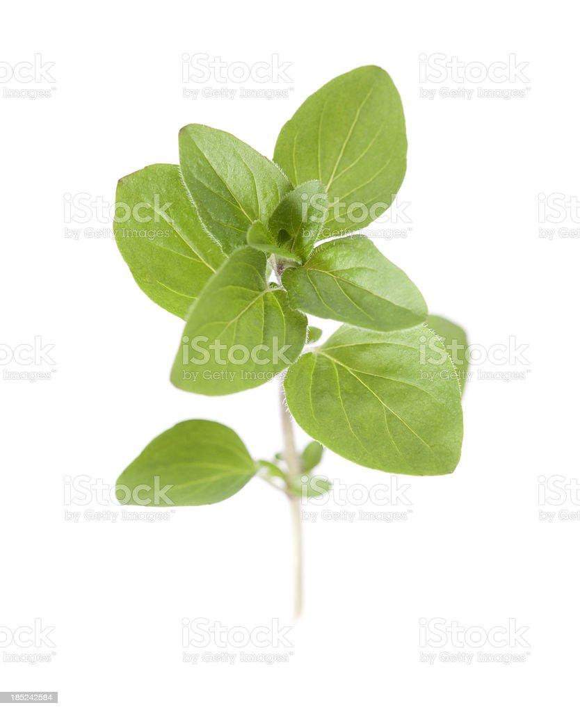 Pot Marjoram (Oreganum vulgare) stock photo