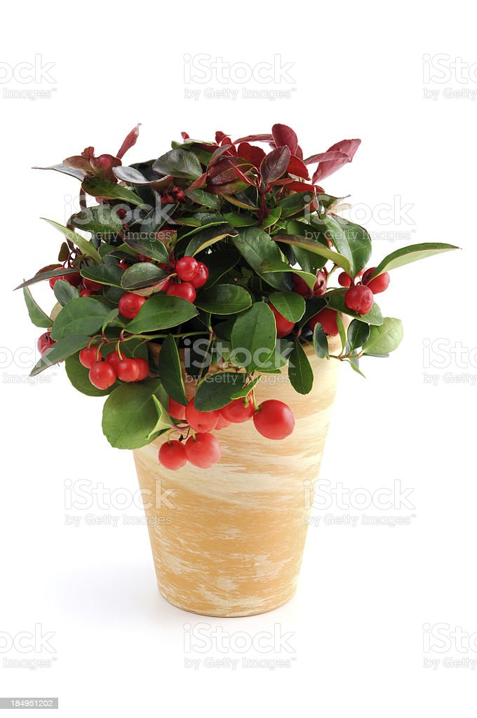 Pot of American wintergreen (Gaultheria procumbens) Scheinbeere stock photo