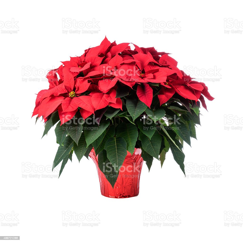 Pot of Bright Red Poinsettia stock photo