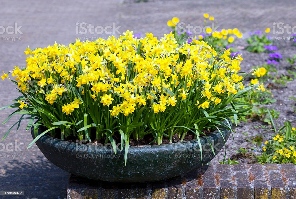 Pot of Daffodils in Amsterdam royalty-free stock photo