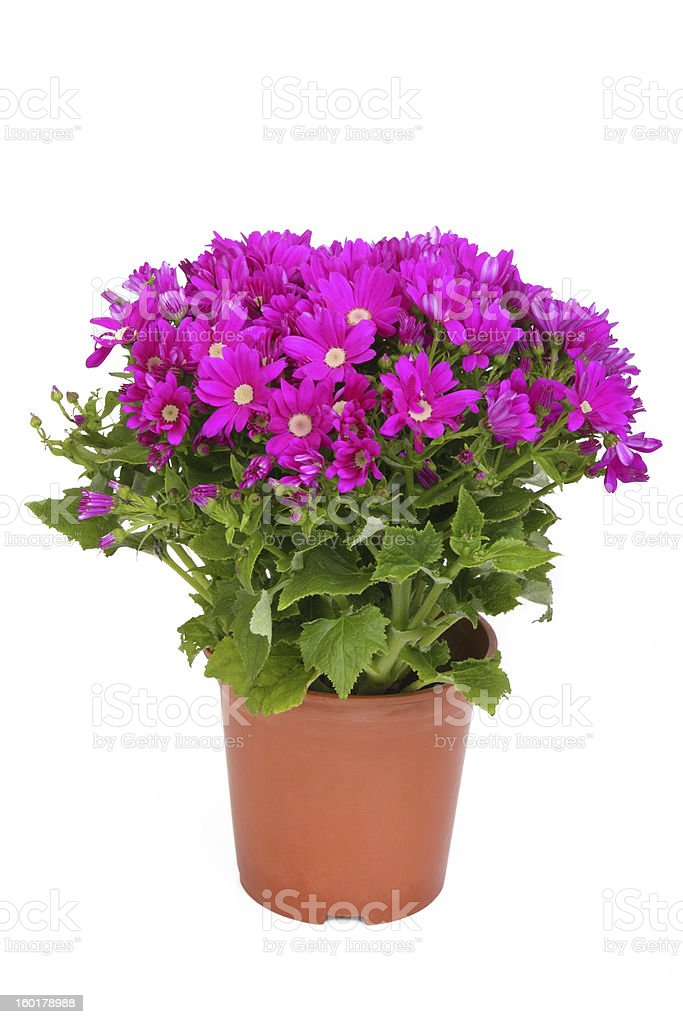 Pot of dianthus flowers on white background stock photo