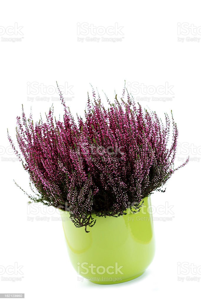 pot of heather royalty-free stock photo