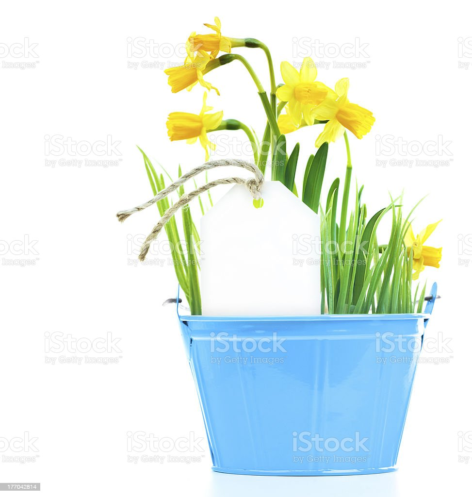 Pot of narcissus flower royalty-free stock photo