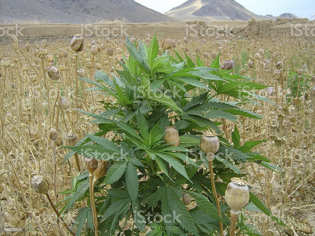 Pot plant in a field of opium poppies stock photo