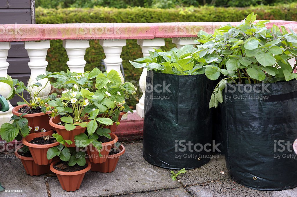 Potato and strawberry plants on terrace stock photo
