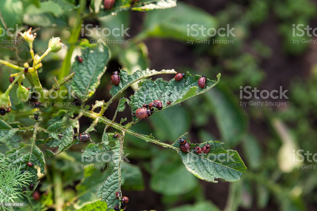 Potato beetle larvas stock photo