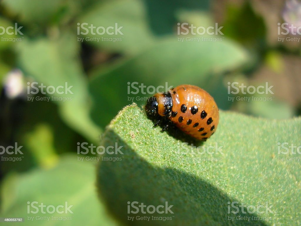 Potato bug stock photo