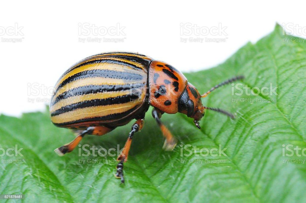 potato bug stock photo