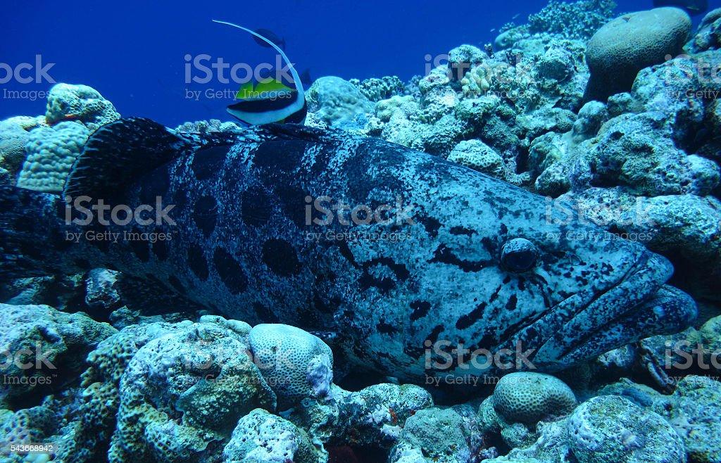 Potato Cod and Moorish Idol stock photo