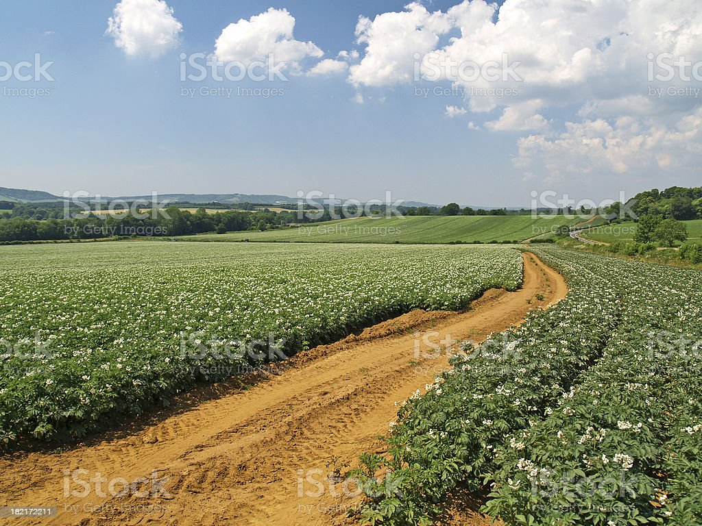Potato Crop in Summer royalty-free stock photo