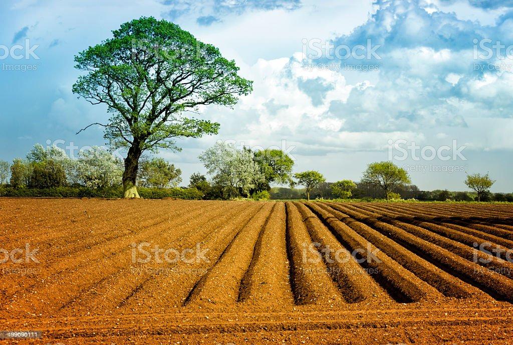 Potato field in spring stock photo