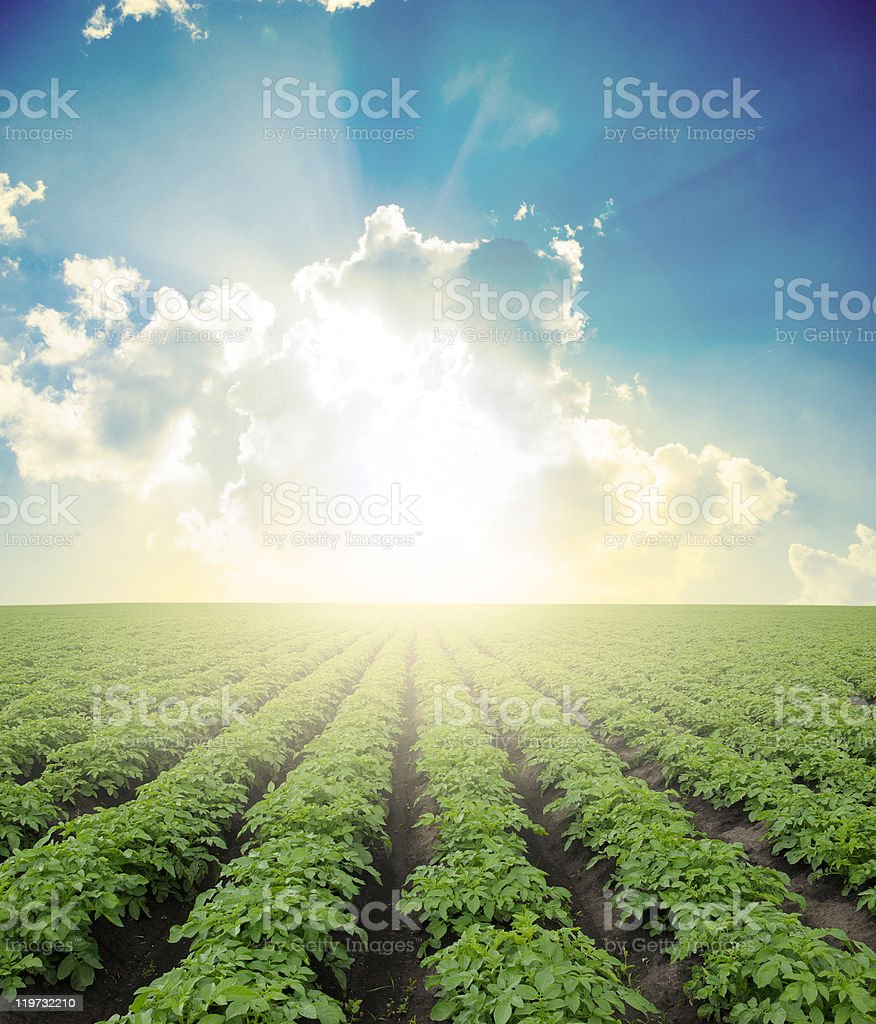 potato field royalty-free stock photo