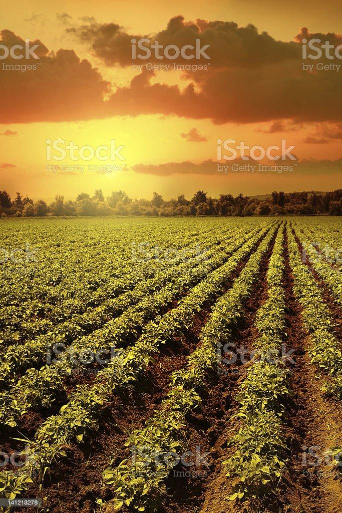 Potato field royalty-free stock photo