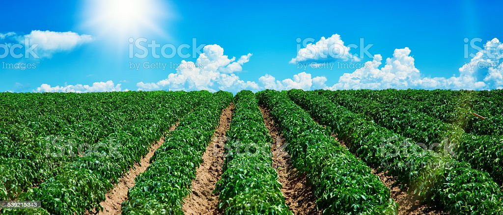 Potato field with cloudy sky sun and lens flare panorama stock photo
