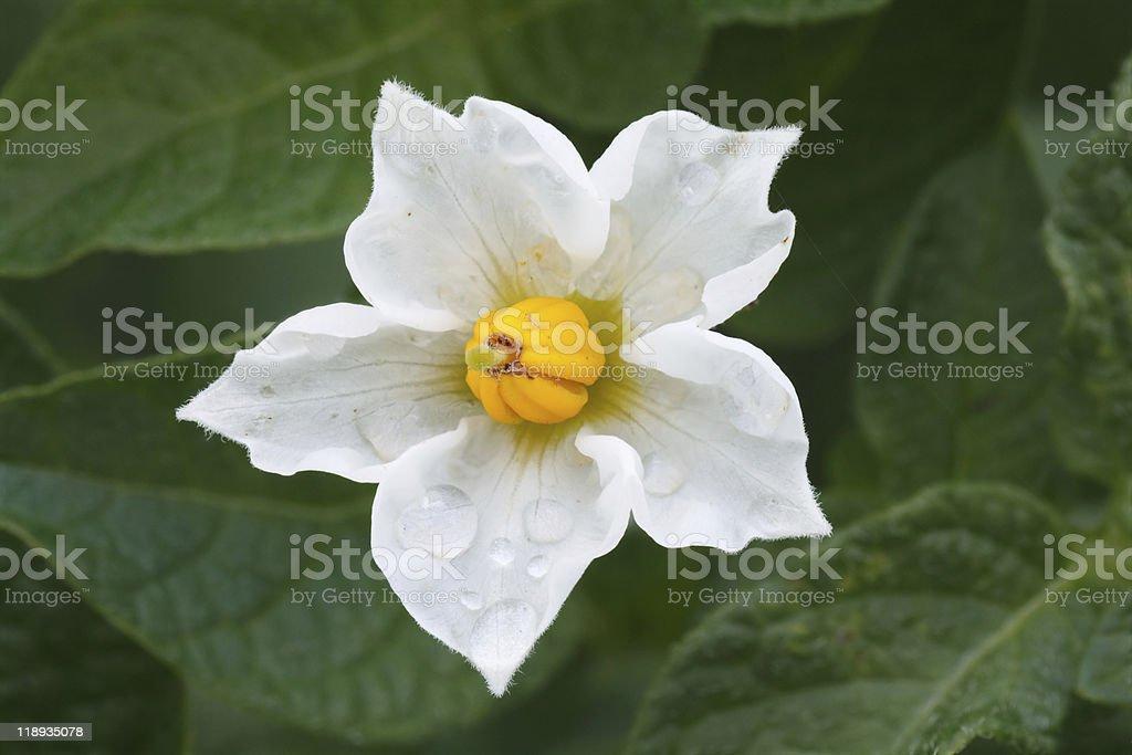 potato flower in drops of a rain royalty-free stock photo
